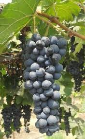 Juice aplenty from the Grape variety from ARI, Pune