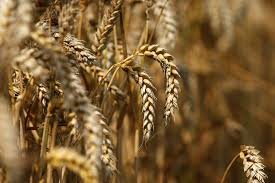 Wheat procurement under central pool gathers momentum