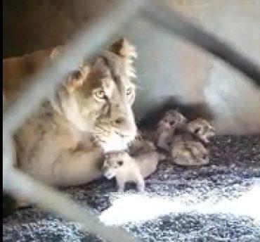 Gujarat Gir Lioness gives birth to 3 cubs in Junagadh's Sakkarbaug Zoo