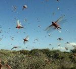 Locust control operations in full swing mainly in Rajasthan, Gujarat and MP in coordination with State Agricultural Departments, Local Administration and BSF
