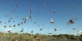 Locust control operations carried out in more than 3.5 lakh hectares area of Rajasthan, Madhya Pradesh, Punjab, Gujarat, Uttar Pradesh, Maharashtra, Chhattisgarh, Haryana and Bihar till 16th July 2020