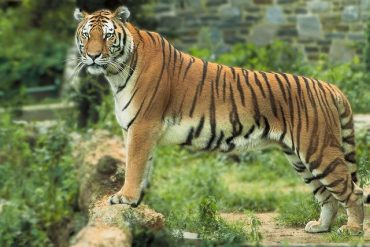 Union Environment Minister to dedicate Guinness World Record to people of India on the eve of Global Tiger Day