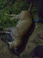 Another Leopard Run over by speeding car in reserve forest range