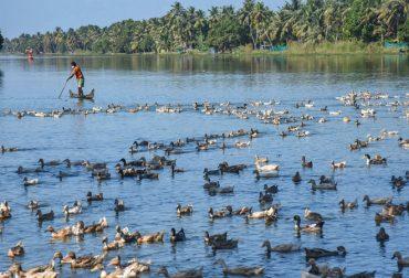 Status report on Avian Influenza in Kerala in ducks and report of avian influenza in crows/wild/ migratory birds in the country