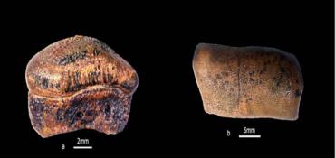 Discovery of New Species of Hybodont Shark From Jurassics of Jaisalmer, Rajasthan